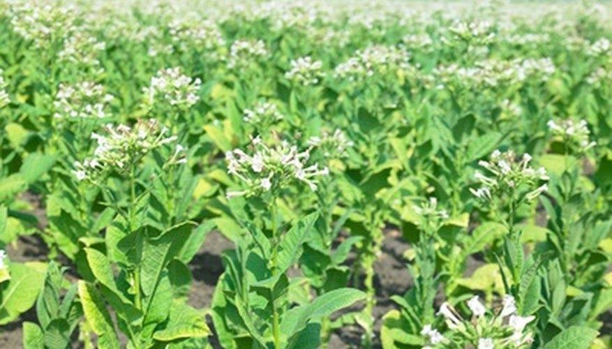 El cultivo de las plantas de tabaco puede ser un pasatiempo gratificante.