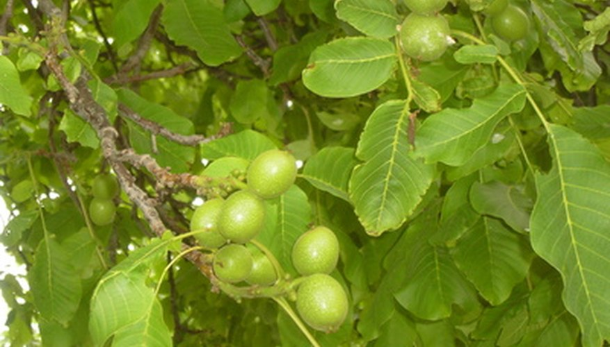 Green black walnuts on a fully mature tree.