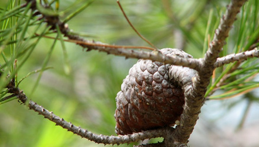 Pine trees are seed plants that produce cones.