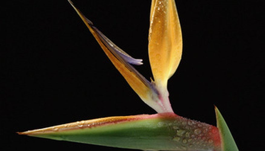 Bird of paradise plants need help to produce blooms.