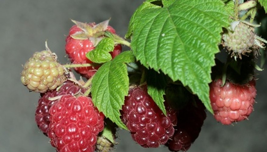 Raspberry leaves can be difficult to identify without fruit.
