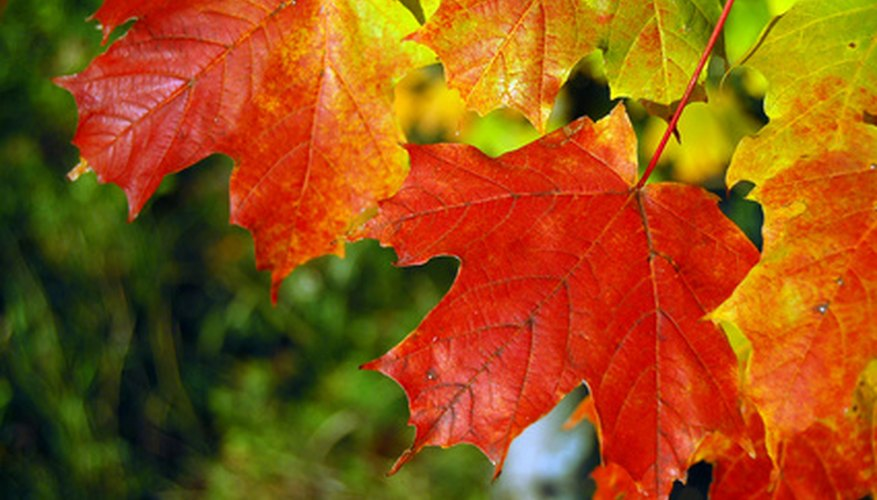 The brilliant sugar maple is Wisconsin's state tree.