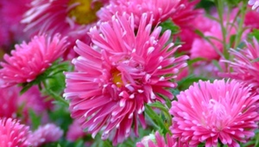 Perennial aster flowers are not as showy as annual ones, but perennial asters are the best ones to plant because they come back year after year.