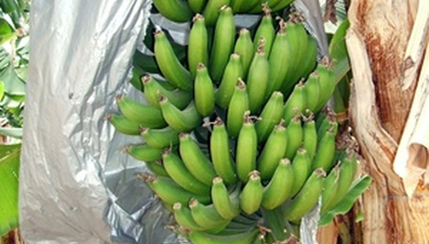 Wrapping bunches of bananas on the plant protects the fruit.
