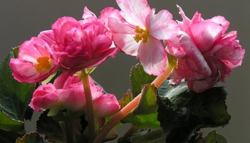 Begonias are used as houseplants and in the garden.