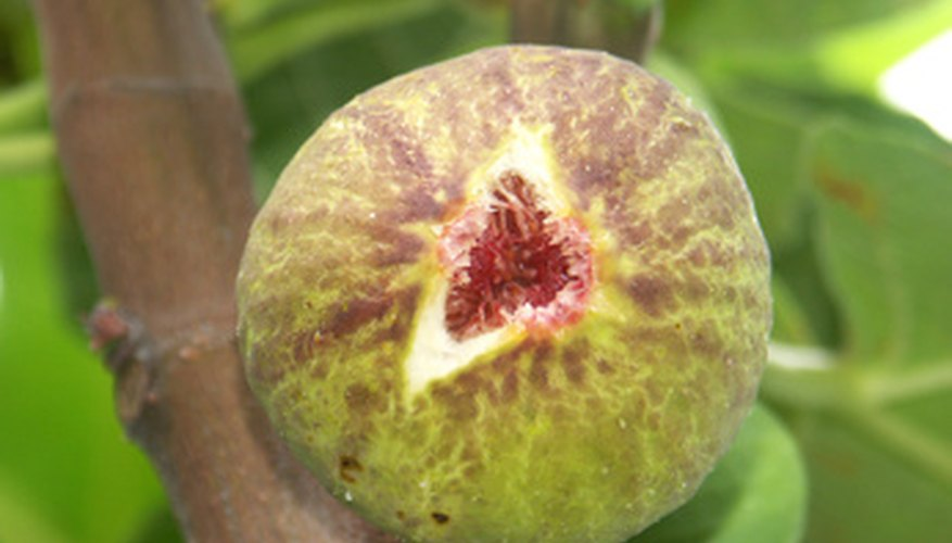 Plant a fig bush in a sunny location.