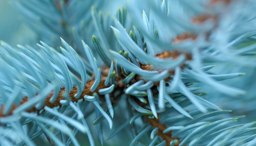 The Colorado blue spruce's attractive needles.