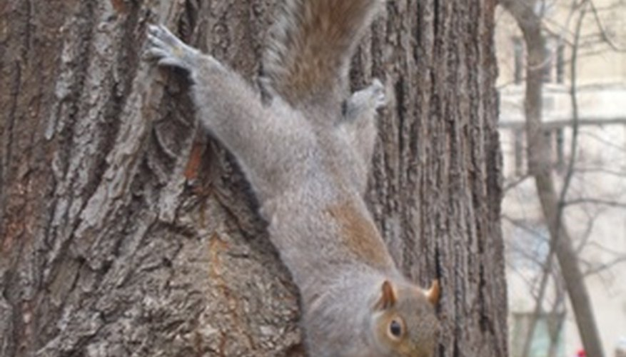 Squirrels love to climb trees.