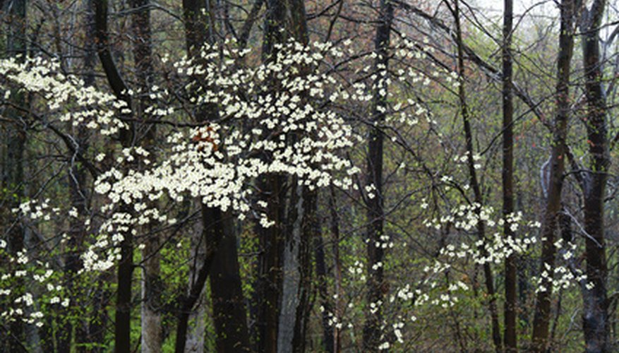 Dogwood blooms appear before leaves in early spring.