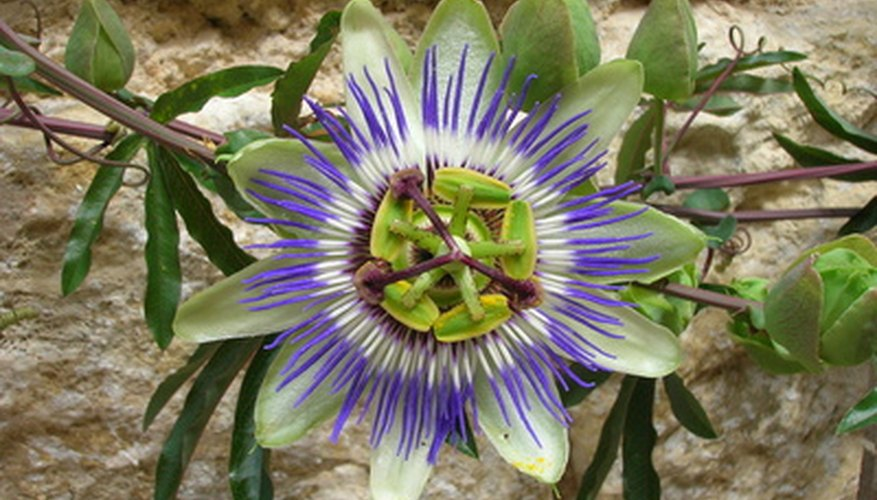 Native passionflower, Passiflora incarnata