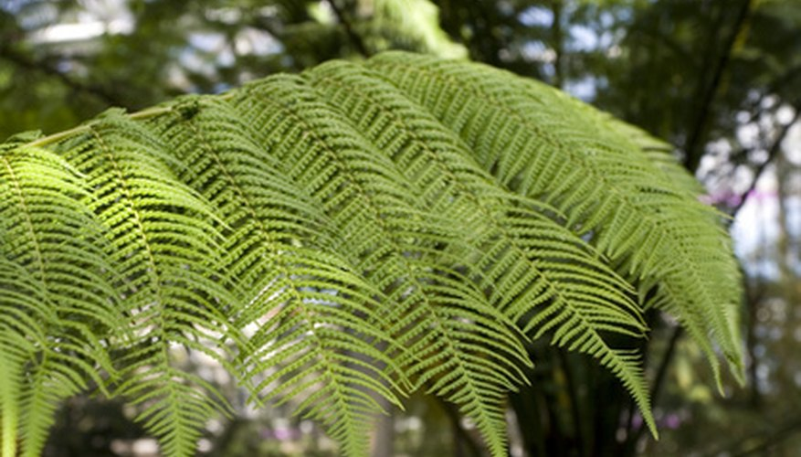 Tree ferns are large ferns borne on trunk-like stems