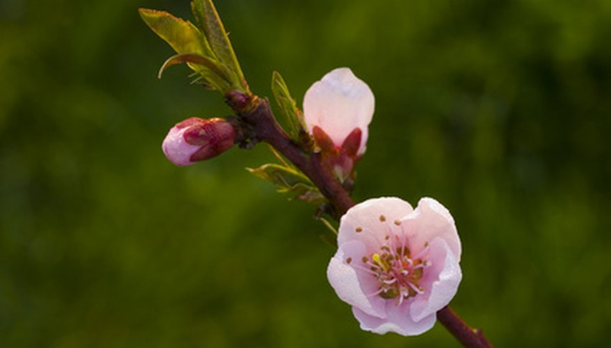 Blossom and young leaf on a peach tree