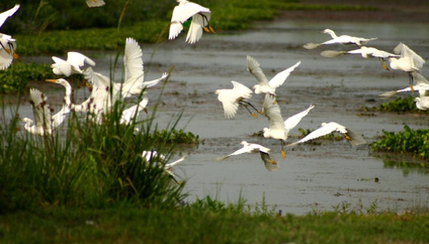 Egrets like these crowd many waterways in Florida.