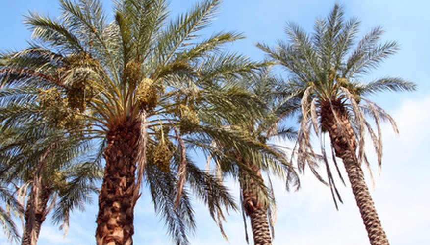 Palm bugs can harm otherwise healthy trees.