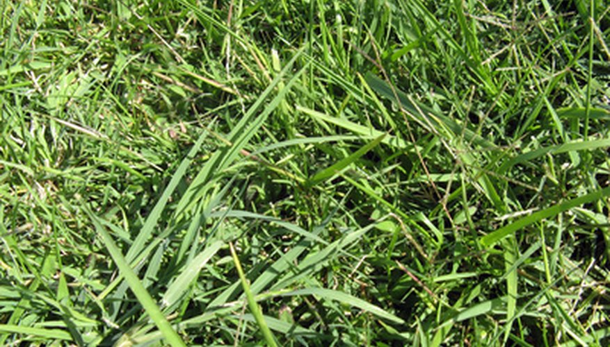 Crabgrass thrives where turf is thin or stressed.