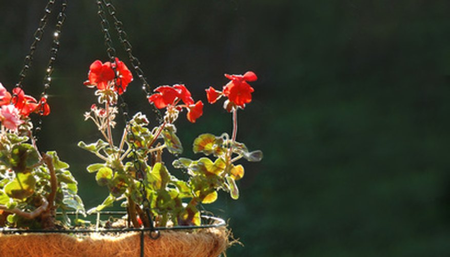 Many summer flowers can be grown in pots.