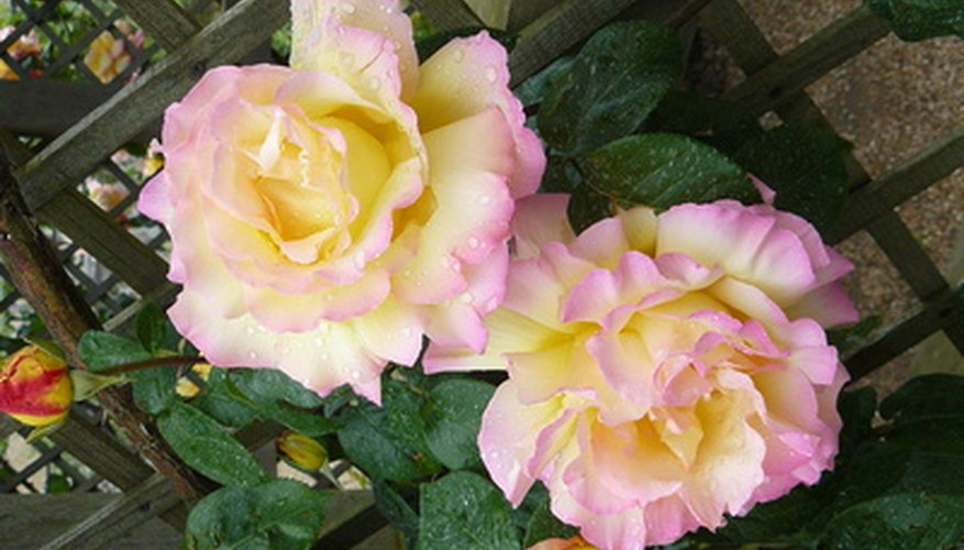 Climbing roses need to be tied with gardening ties to supports like trellises, arbors and fences.