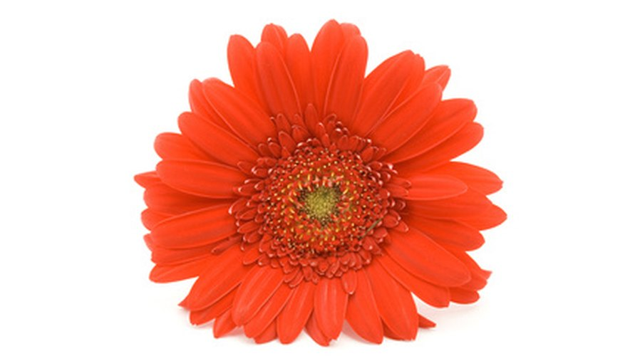 Gerbera daisies add bright colors to any yard.
