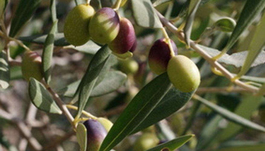 Olive trees grow well in Florida