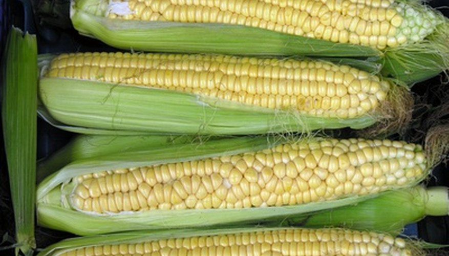 Corn plants will produce two ears each.