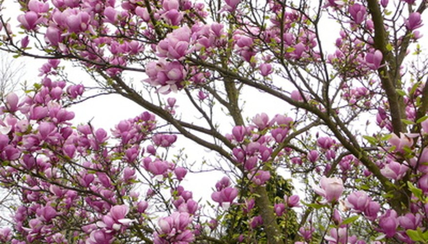 Magnolia soulangiana is known as the Saucer Magnolia