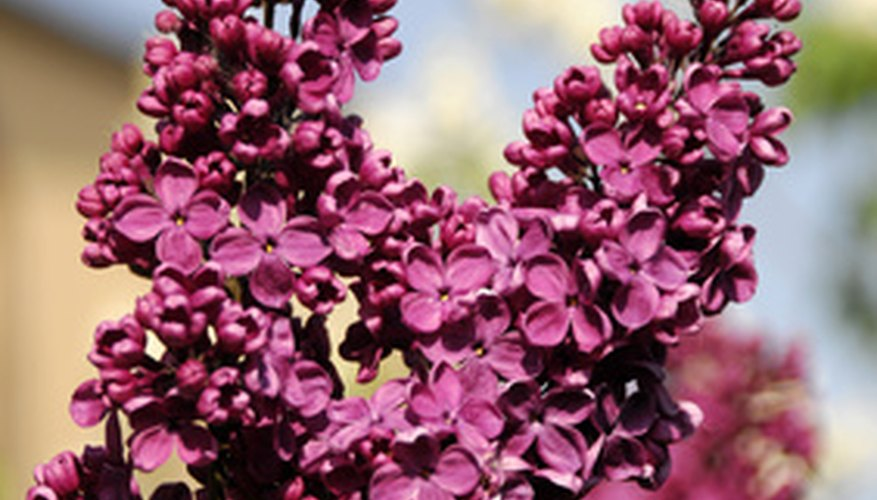 Lilac spikes are fragrant bunches of single or double four-petaled flowers.