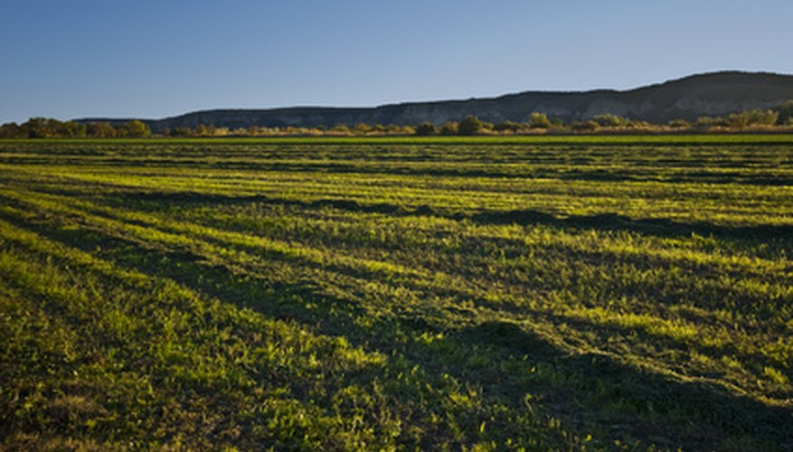Alfalfa often grows in large fields as a feed crop for farm animals
