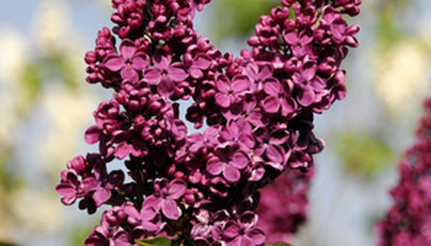 Lilacs often spread vigorously from the roots.