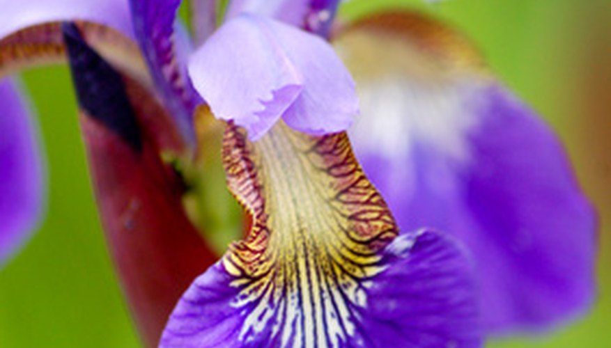 Siberian irises come in several colors.