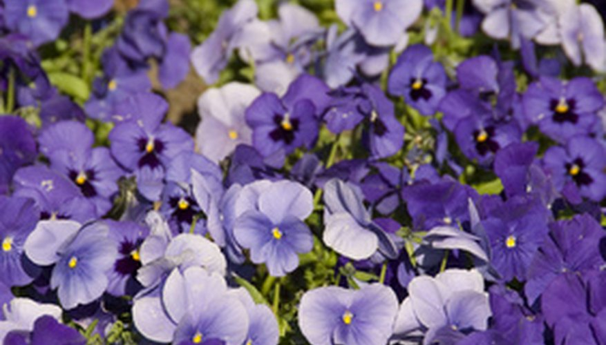 Pansies are common annual bedding plants in Texas.