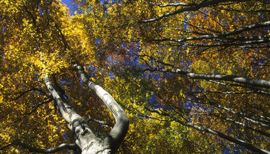 Beech trees grow slowly to medium height, stately trees.