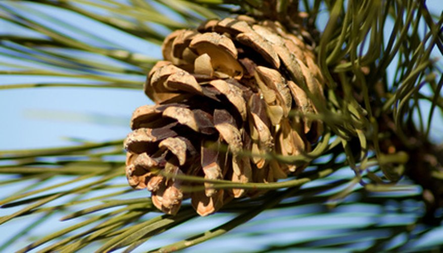 Cones hold the seeds of conifer trees.