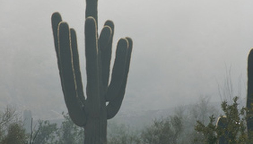 Saguaros are iconic desert plants.