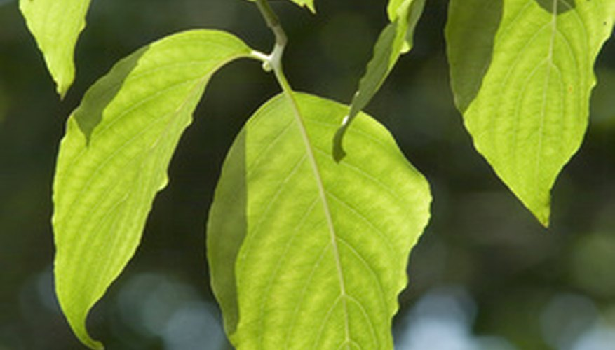 Dogwood leaves are usually elliptical in shape.