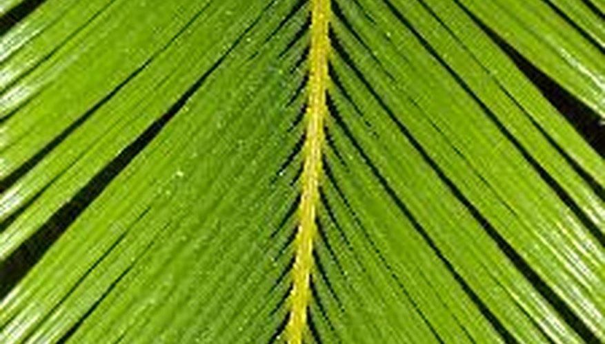 The sago palm tree leaf resembles a feather and is toxic.