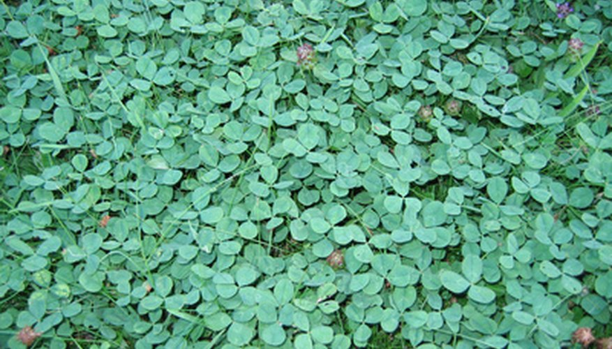 Clover is prolific and can quickly take over a lawn.