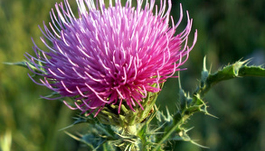 Apply herbicide to actively growing thistles in the fall.