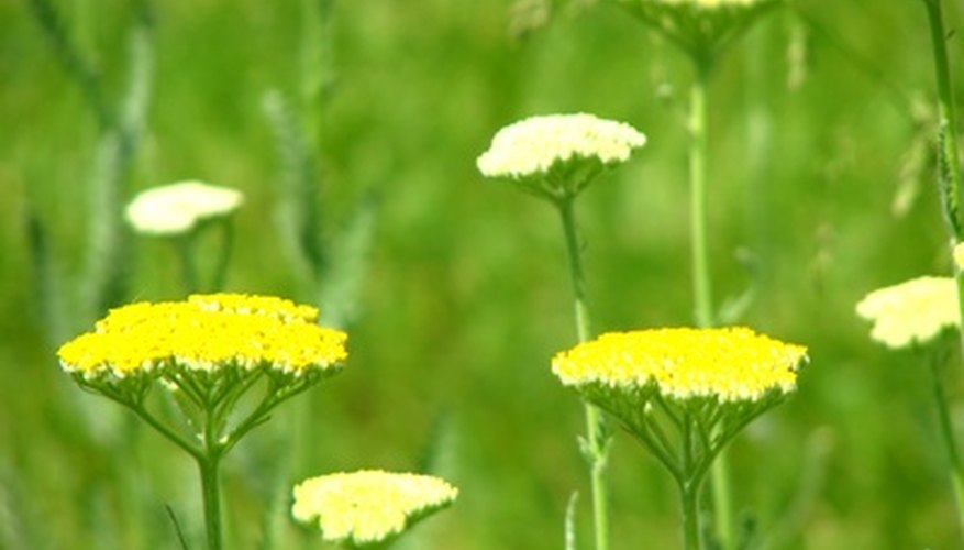 Flattened flower heads of yarrow are called corymbs.
