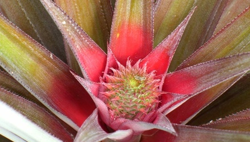 The fruit of the miniature pineapple develops after the tiny flowers appear.