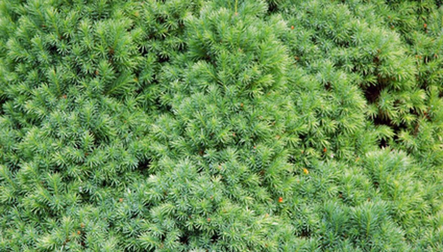 Yew with needle-like leaves