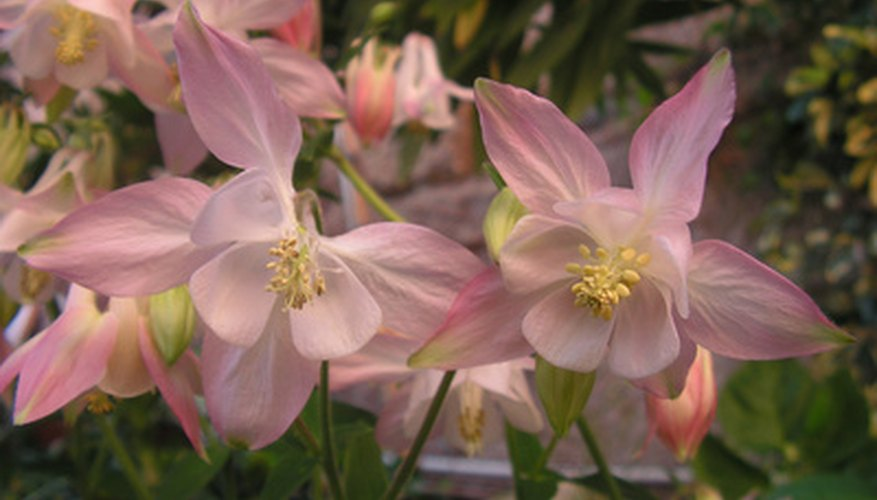 The delicate columbine flowers enchant most gardeners.