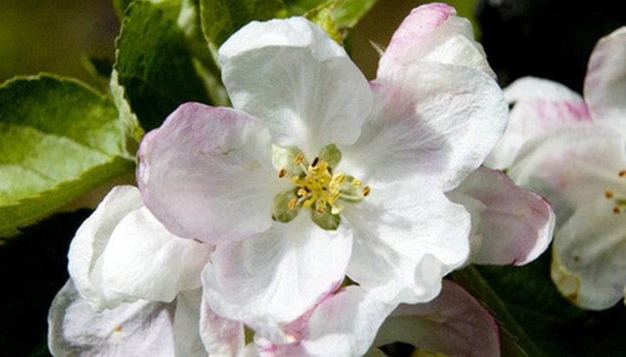 Apple trees provide pretty flowers followed by tasty fruits.