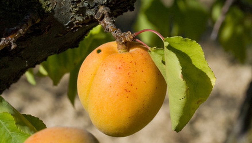 Apricot trees have relatively few problems compared with other stone fruit trees.