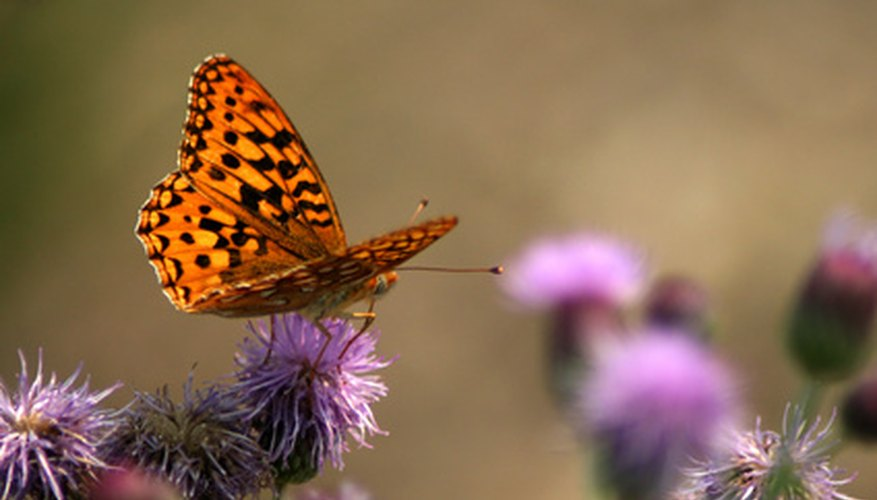 Butterfly extracting nectar from a thistle