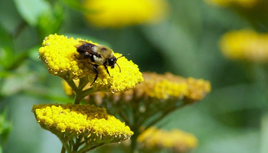 Cuánta miel hace una abeja.