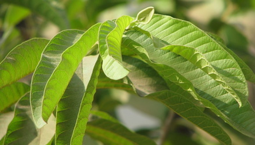 Guava tree foliage