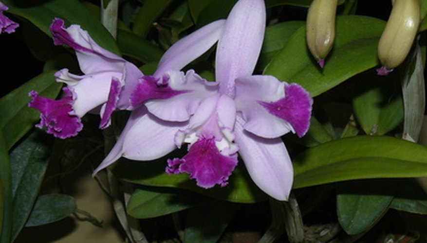 Cattleya orchids are ideal for pin-up corsages.