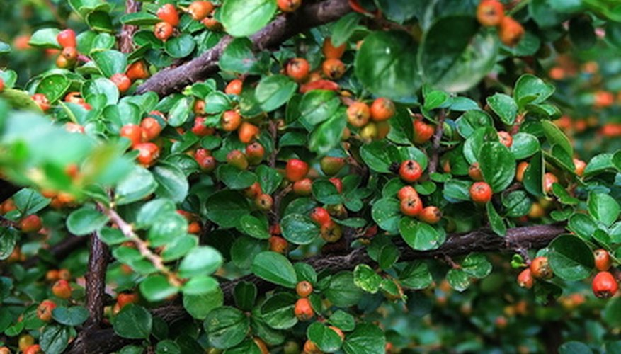 Barberry shrubs are susceptible to attack by insect pests.