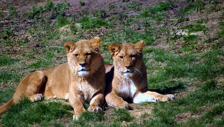 Lions count as secondary or tertiary consumers depending on what they are eating at a given moment.