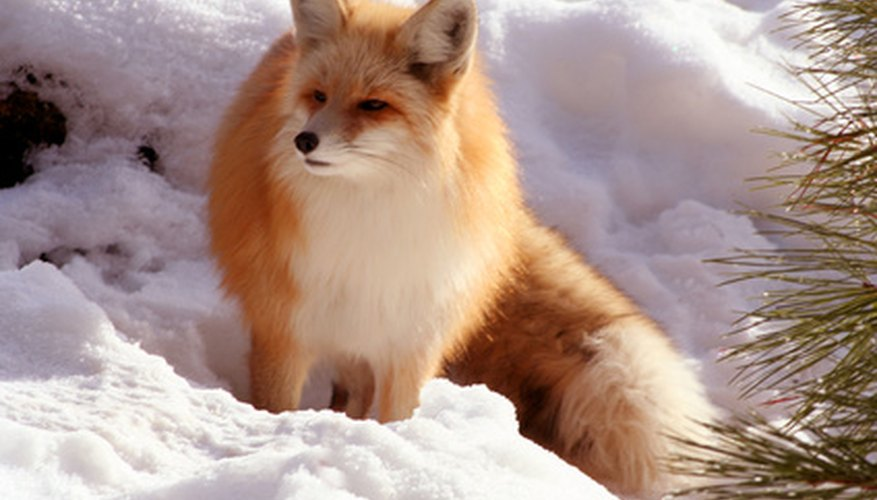 The red fox is found in nearly every county in Massachusetts.